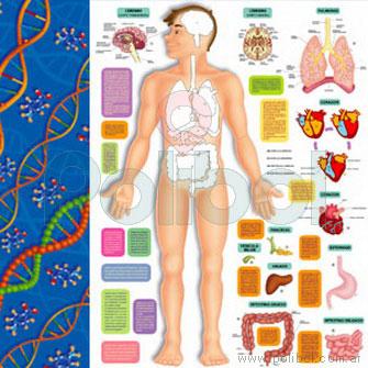 Cartulina Entretenida del cuerpo humano